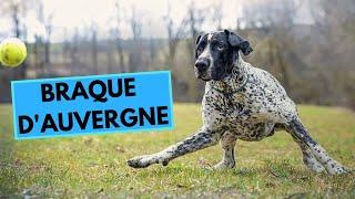 Braque d'Auvergne  Auvergne Pointer  Facts and Information