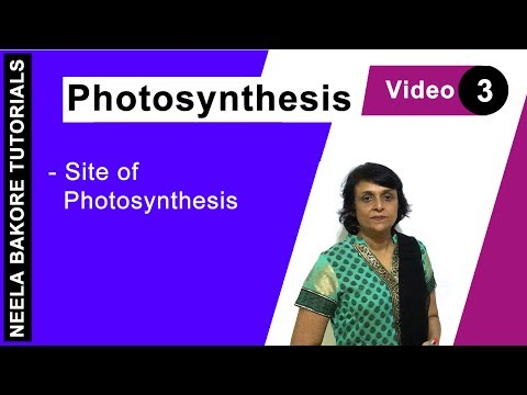 Photosynthesis - Site Of Photosynthesis
