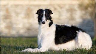 犬のボルゾイの性格や特徴、飼い方や価格について.