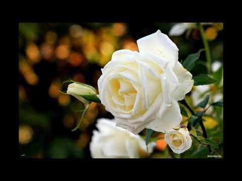 Букет из белых роз (Виктор Королев и Ирина Круг) cover by Бабка Ежка