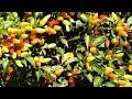 Pimenta ornamental, Capsicum Annuum, Para propagação ver o passo a passo no final do vídeo,