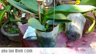 Kỷ thuật trồng   chăm sóc lan  Hồ Điệp vào chậu