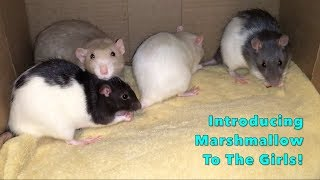 Introducing a Neutered Male Rat To My 5 Intact Female Rats!