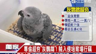 專偷超夯灰鸚鵡! 賊入侵培育場行竊|三立新聞台
