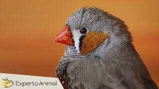 Mini-documental del diamante mandarín (Zebra finch)
