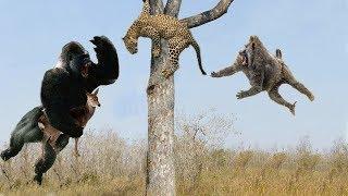 Leopard vs Cheetah, Hero Monkey Rescue Antelope From Cheetah hunting - Wild Animals 2018