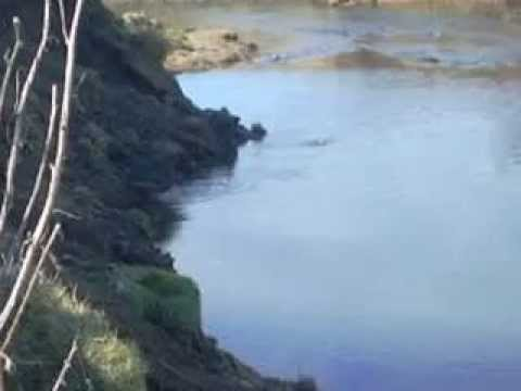 spring otters on river loughor 1