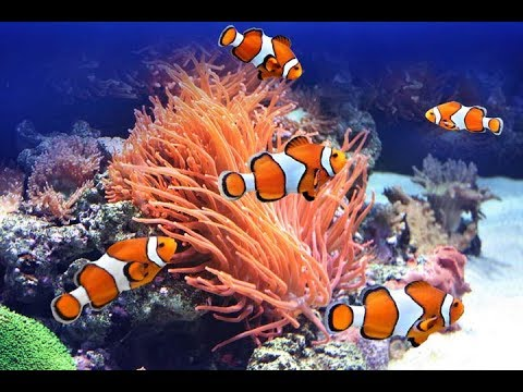 Clownfish And Butterflyfish Coral Life Amos Rock TubbatahaTubbataha Reefs Natural Park Philippines