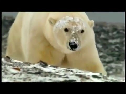 Climate Change - Ice Melting - Global Warming -  Endangered Animals