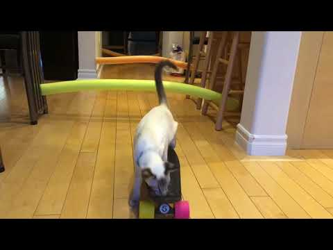 Balinese Cat Darci Skateboarding Cat in-training