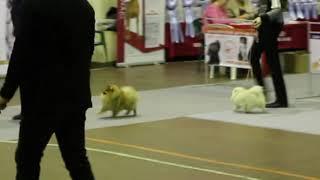 Всероссийская выставка собак ранга САС-ЧРКФ г. Дзержинск, юниоры, померанцы