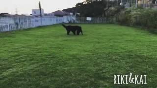 ニューファンドランドのリキとカイの追いかけっこ。仲良く遊ぶ姿に癒さ...