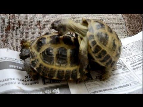 Спаривание сухопутных среднеазиатских черепах