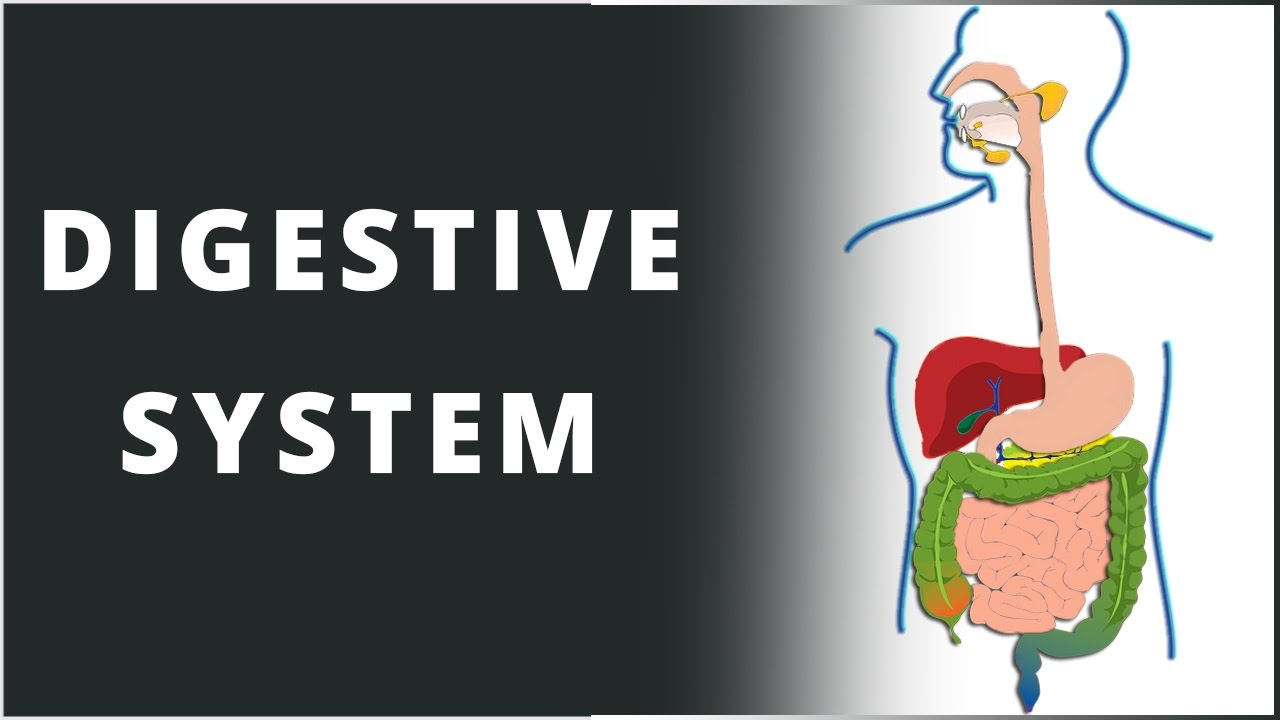 Digestive system nutrition in human beings biology science digestion digestivesystem human ccuart Gallery