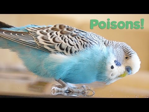 What Foods are Poisonous to Birds? | Budgie Care