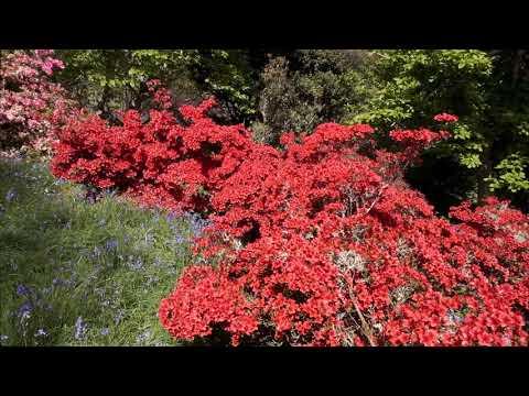 Three azaleas - Caerhays