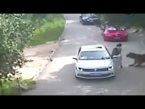 Kaplan kadını arabadan alıp kaçtı!