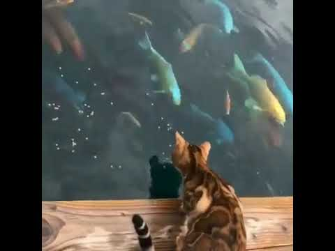 Cute Bengal Cat plays with Carp Fish