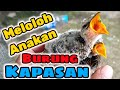 Meloloh Anakan Burung Kapasan  Mp3 - Mp4 Download