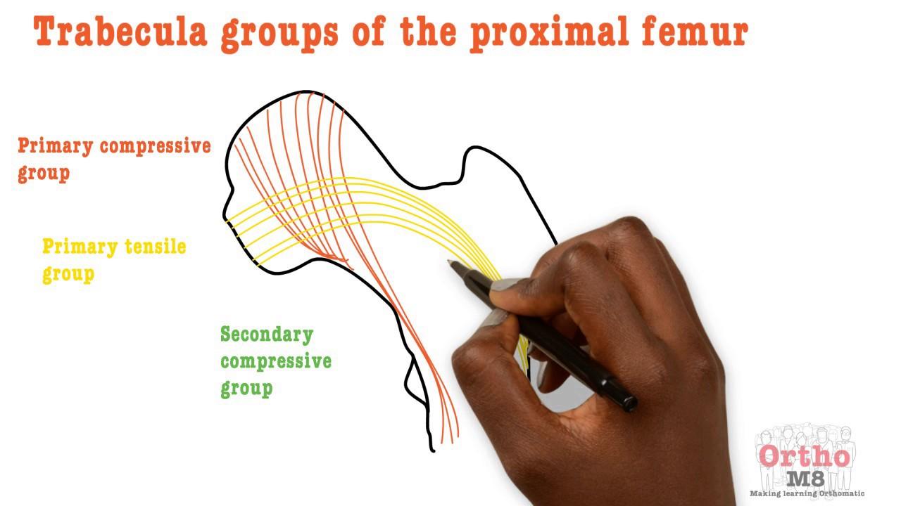 Basic Sciences - Trabecula groups of proximal femur - YouTube