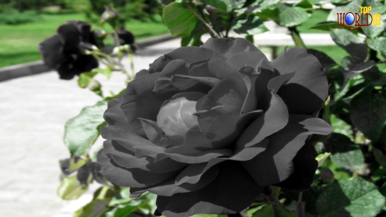 Beautiful black roses youtube beautiful black roses flower world izmirmasajfo