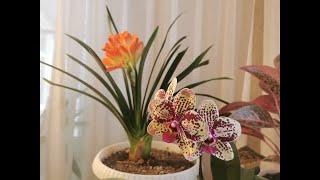 Орхидея фаленопсис. Пересадка после покупки. Основной уход.