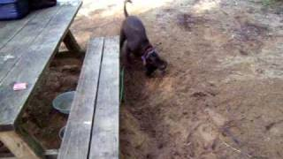New! 3 Three Legged Dog Digs Moat Around Picnic Table