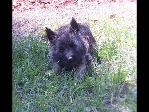 Cairn Terrier, Puppies, Dogs, For Sale, In Nashville ...