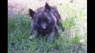 Cairn Terrier, Puppies, For, Sale, In, Charlotte, North Carolina, Nc, Lexington, Clemmons, Fuquay Va