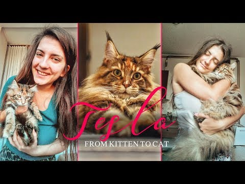 Tesla Maine Coon | From Kitten to Cat 💕
