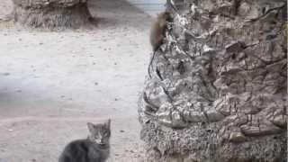 Испанские коты ловят крысу
