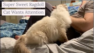 Super Sweet Ragdoll Cat Wants Attention