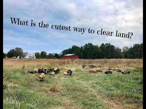 Clearing Land With Kune Kune Pigs