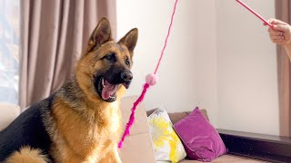 German Shepherd playing with a kitty toy like a cat