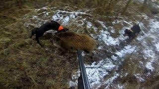 Gończy polski - polowanie - akcja Dzik - -  wild boar hunting