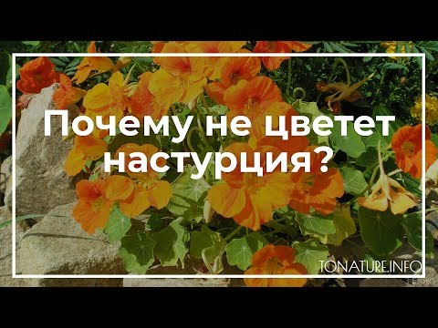Почему не цветет настурция? | toNature.Info