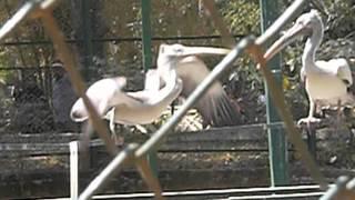Пеликаны. Зоопарк в Бангалоре.