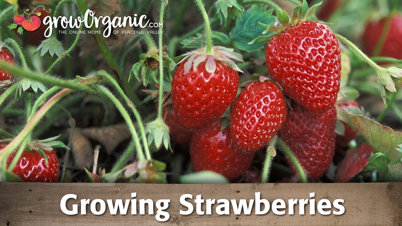 Best strawberries to grow in texas - How To Grow Organic Strawberries