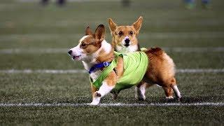 Seahawks Host Corgi Races During MNF Halftime