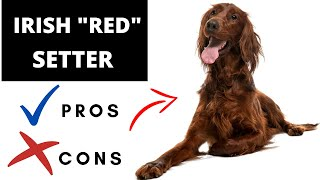 Irish 'RED' Setter Pros And Cons   The Good AND The Bad!!