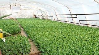 Жителі Заріччя не зважаючи на морози вирощують і пересаджують ранні овочі