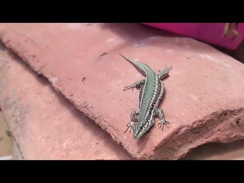 Download Alimentación de lagartija que vive en mi terraza