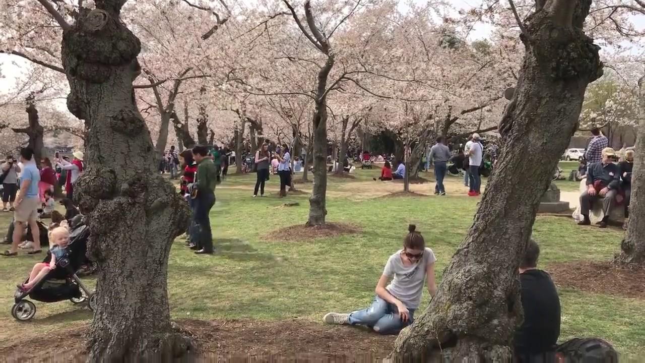National Cherry Blossom Festival Original First Planted