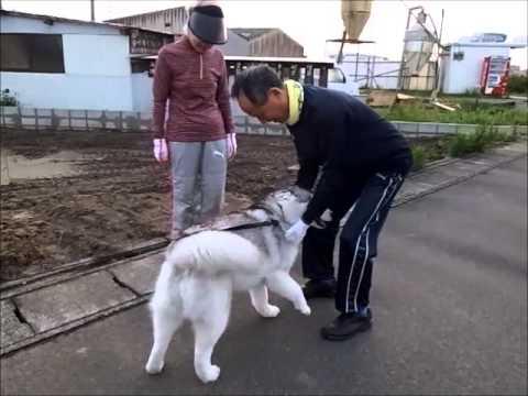 Good morning !   Jul 1st 2015  Siberian Husky Hana III is cute dog