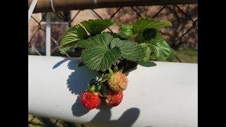 Aquaponic Strawberries & More