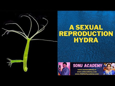 Method of asexual reproduction of hydra