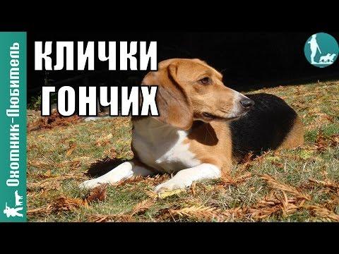 Как назвать собаку бигль