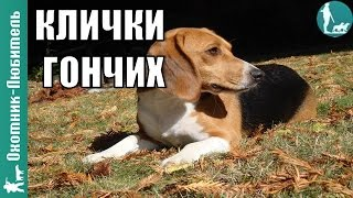 Клички гончих!(, 2016-07-11T17:00:02.000Z)