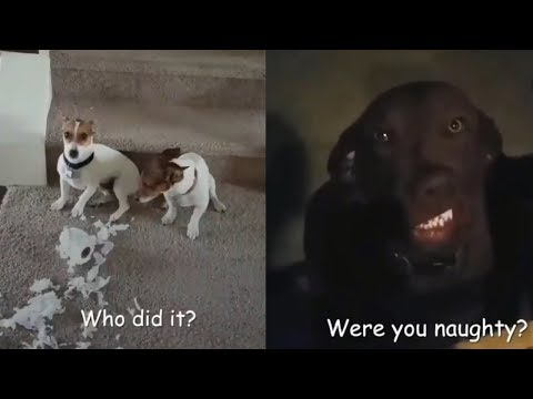 Who Did That?! | Guilty Dogs Video Compilation 2018