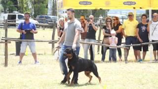 Yoshi Motta Granda Hda Ed Bl  Ztp Rottweiler Club Italiano  Capena ( Roma)  06 2014 - Video Niferre